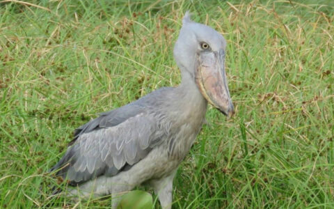 Mabamba swamp or Mabamba wetland or is an important birding destination found placed on the fringes of Lake Victoria towards the western part of Uganda. Among the birds found here, the Shoebill