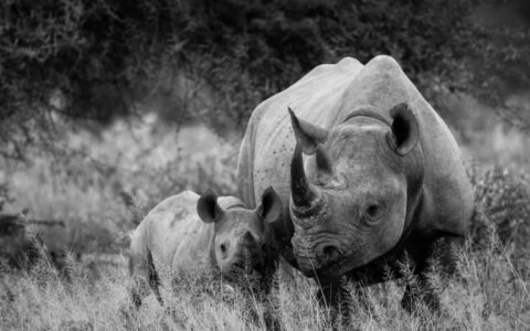 Ziwa Rhino sanctuary is observed in Nakasongola district 176 km from Kampala capital city on the Kampala – Gulu highway. It is a decent place presenting a high-quality quit factor on the way to Murchison falls national Park so, it is perfect to start with rhinos tracking