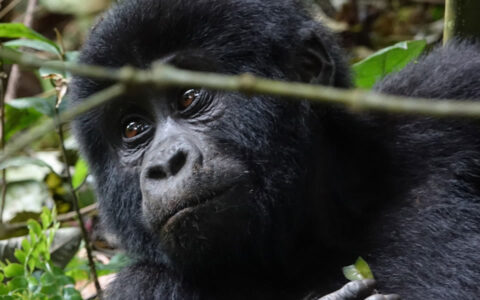 safari is most luxurious with the visitors staying at natural elegance, gold standard & pinnacle live on the maximum high-end luxurious accommodation lodges of Volcanoes National Park including Mountain Gorilla