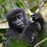 Bwindi Impenetrable is among the tropical rain forests in Uganda with an annual temperature range of a maximum of 20-27oc to a minimum of 7-15oc