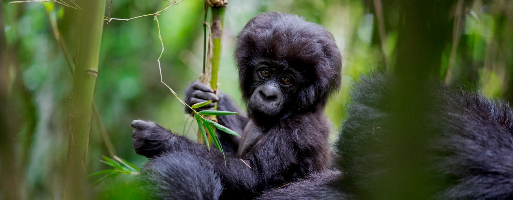 Gorilla discovery is a safari tour and travel company based in Uganda, fully licensed to conduct safaris within Uganda and Rwanda. We offer several tours and safaris in Uganda including Gorilla Tours, wildlife adventures, mountaineering trips