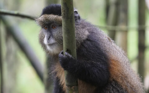 4 Days Mgahinga gorilla trekking and golden monkey safari from Kampala or Entebbe International Airport is one of the wonderful safaris that will enable the visitors to explore encounter both endangered mountains gorillas and the rare golden monkeys