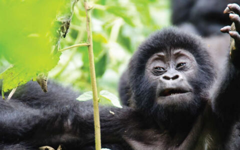 2 Days Mountain gorilla trekking safari to Mgahinga from Kampala to Mgahinga national park is one of the best national parks where visitors can go and enjoy in Gorilla trekking safari. The gorilla trekking safari in Mgahinga Gorilla National Park