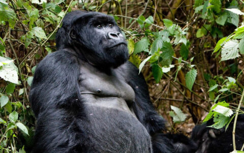 2 Days Gorilla Safari in Volcanoes Rwanda will take you to Volcanoes national park to get in touch with the endangered mountain gorillas. This Rwanda gorilla safari will acclaim you a memorable explore of Rwanda's endangered mountain gorillas
