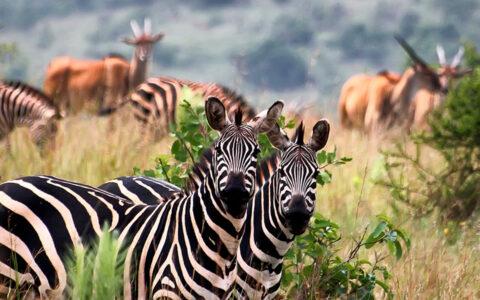 wildlife safari and trips in Rwanda in Rwanda? Book our 3 Days Rwanda Wildlife Safari tours at less expensive rates. Rwanda established black Rhinos in Akagera National Park