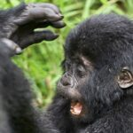 primate national parks in Uganda that is famous because of its endangered mountain gorillas and golden monkey great primate species